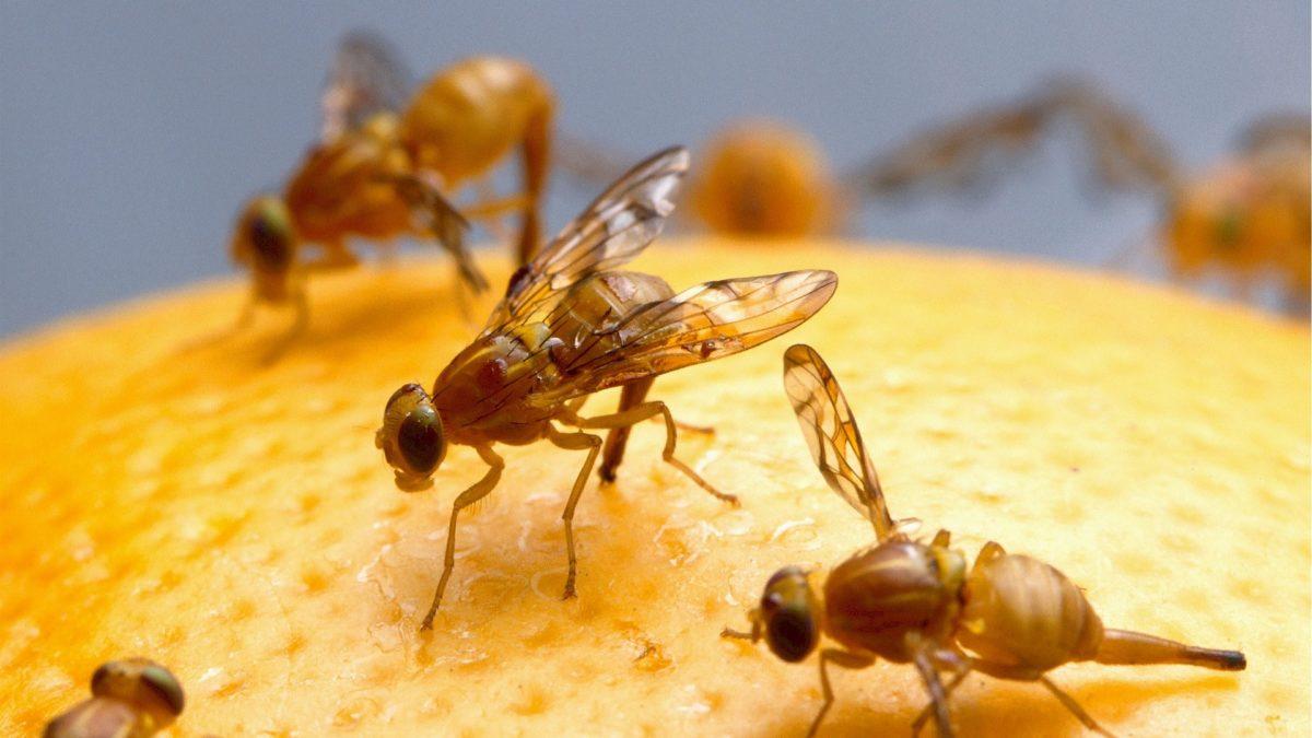 Fruchtfliegenfalle selber machen auf konsuguerilla.net